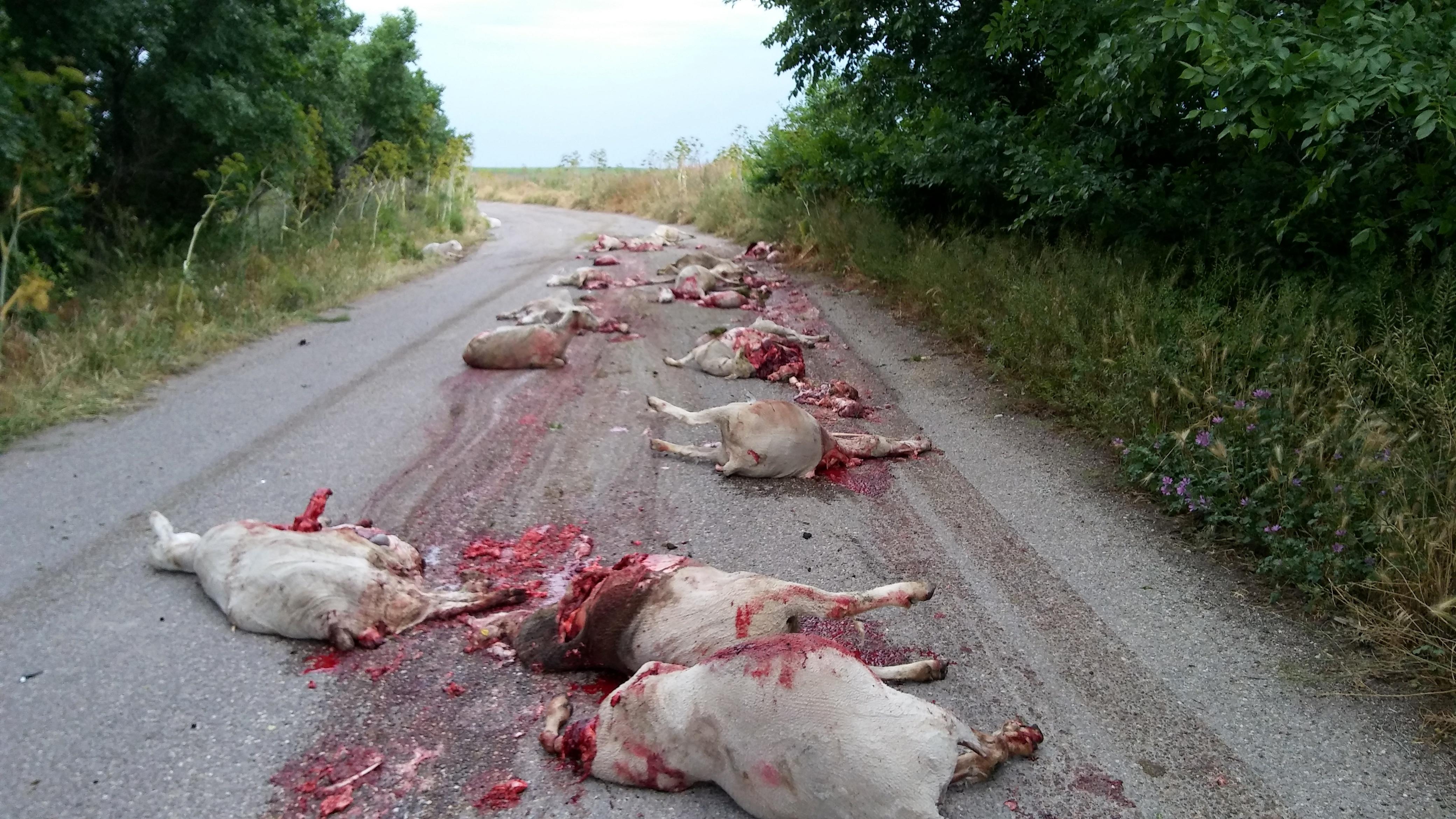 strage pecore-2