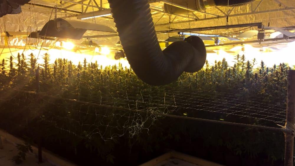 coltivazione marijuana-3