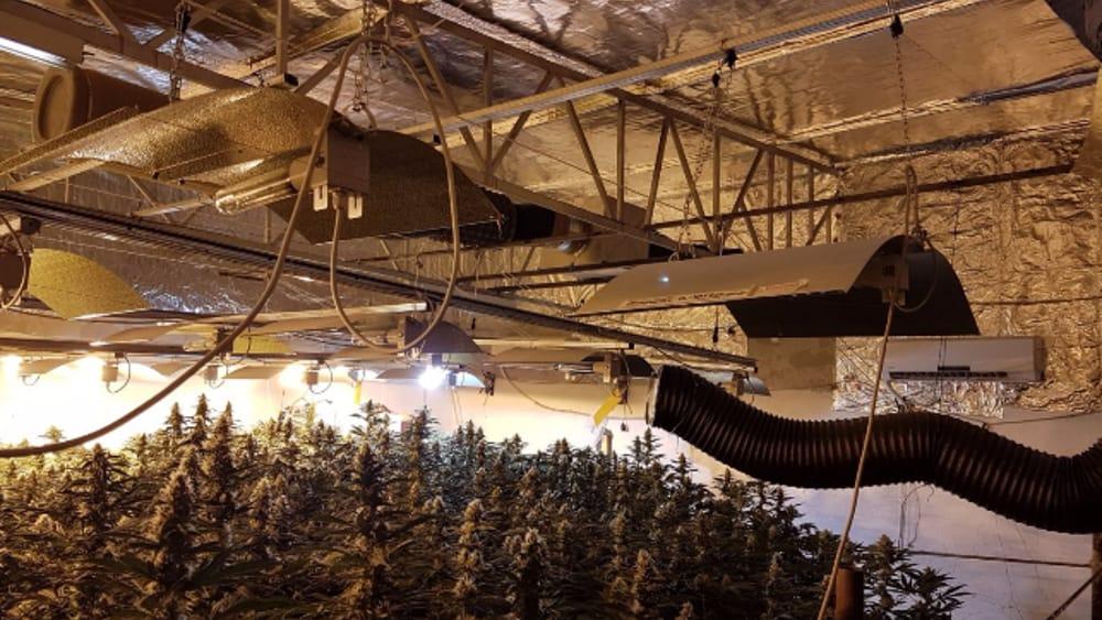 piantagione di marijuana-4