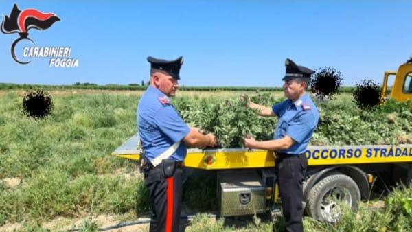 Arrestato 'giardiniere': scoperto mentre irrigava una piantagione di 'cannabis nana', 391mila dosi per sei quintali di droga