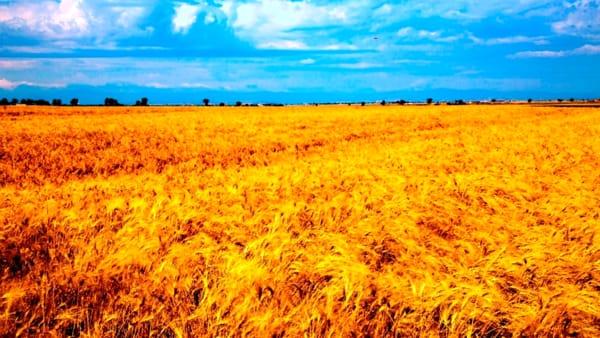 A Foggia c'è il 'Durum Days': un ampio focus sul mercato del grano duro