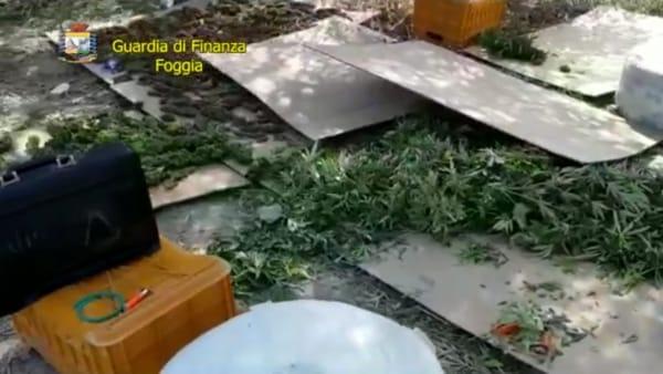 Tonnellate di marijuana nascoste in un vigneto: maxi sequestro delle Fiamme gialle. In manette tre persone