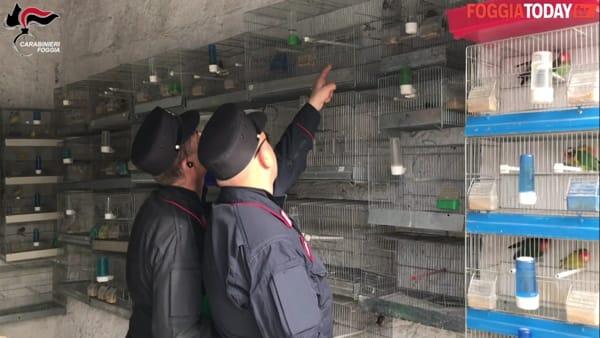 Irruzione dei Carabinieri Forestali in un box auto: scoperti cardellini nelle gabbie e attrezzature di uccellagione vietate